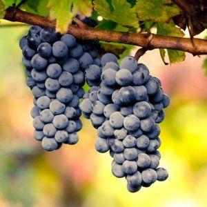 De Cabernet Sauvignon druif