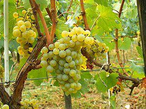 De Chardonnay druif