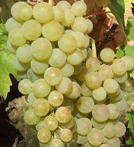 Dimiat Bulgaarse druivensoorten