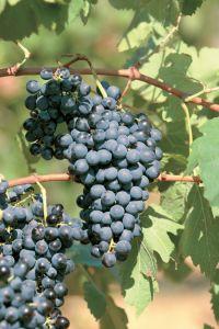 Gamza Bulgaarse druivensoorten