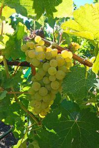 De Sauvignon Blanc druif