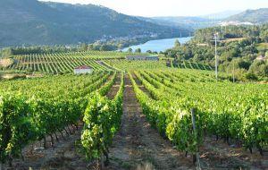 wijngaard met Treixadura druiven