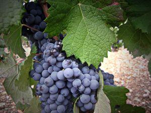 De Cabernet-Sauvignon druif