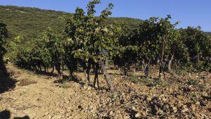De oude stokken syrah vormen de basis voor een rosé die zijns gelijke niet kent.