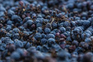 De gedroogde druiven..