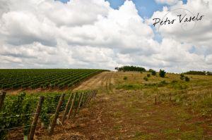 De wijnvelden van Petro Vaselo