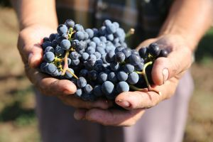 Alles in het teken van Bio-dynamische wijnbouw