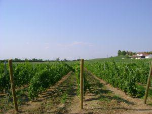 De wijngaarden met de Feteasca Neagra druif