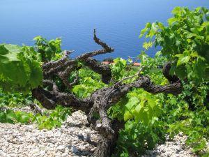 De Plavac Mali druivenstok.