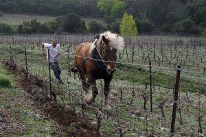 Groenbemesting op 'Mas Seren' met behulp van het paard Nuage.