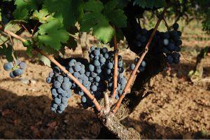 """Oeroud wijnras """"Primitivo"""" schaamteloos ondergewaardeerd"""