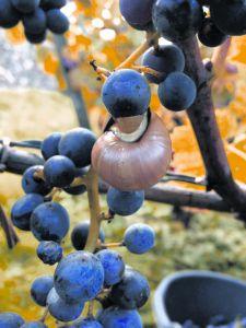 Rode loper voor de koning Pinot Noir