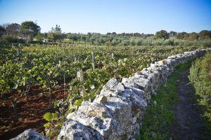 De wijnstokken van de Negoamaro