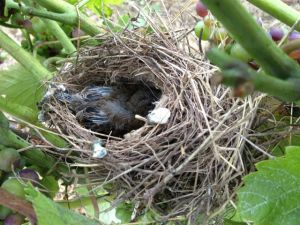 Dankzij een enthousiast vernietigingsleger van vogelouders worden de jongen goed gevoed met delicatessen uit de wijngaard!