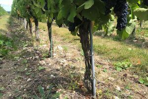 Loire rouge Bourqueil; de echte persoonlijkheid van cabernet franc
