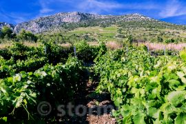 Wijnvelden met de Plavac Mali!